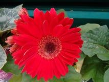 Gerbera kwiat - rewolucjonistka fotografia stock