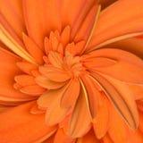 Gerbera kwiatu nieskończoności spirali abstrakta tło Obraz Royalty Free