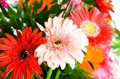 Gerbera kwiaty Obrazy Stock