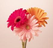 Gerbera kwiaty Obrazy Royalty Free