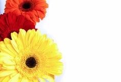 Gerbera kwiaty różni kolory obrazy royalty free