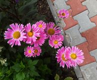 Gerbera, large pink daisies flowers with yellow center. stock photography