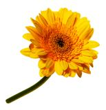 Gerbera. Large yellow-orange gerbera flower with stem on white background Stock Photo