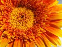 Gerbera macro. Yellow gerbera flower macro shot Stock Images