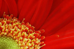 Gerbera Macro Stock Photography