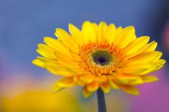 Gerbera magnifique image stock