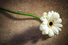 Gerbera on a marble Stock Photography