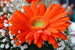 Gerbera med röda kronblad Royaltyfri Foto