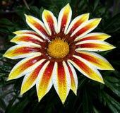 Gerbera multicolorido Fotografia de Stock Royalty Free