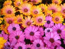 Gerbera no lila e laranja brilhante fotos de stock
