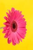 Gerbera op geel Stock Afbeelding
