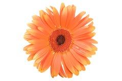 Gerbera orange Photo libre de droits