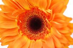 Gerbera orange Photos libres de droits