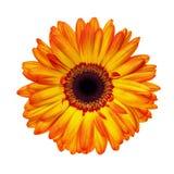 Gerbera orange Photographie stock