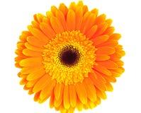 Gerbera orange Images libres de droits
