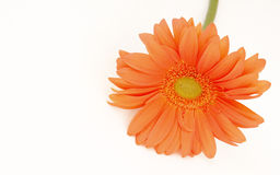 Gerbera orange Images libres de droits