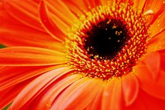 Gerbera orange Photos stock