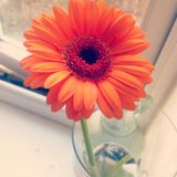 Gerbera orange Photo stock