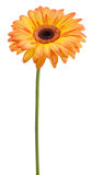 Gerbera orange Photographie stock libre de droits