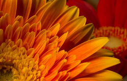 Gerbera orange Photos libres de droits