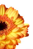 Gerbera orange Stock Photos