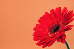 Gerbera on a orange background. Beautiful red gerbera on a bright orange background royalty free stock images