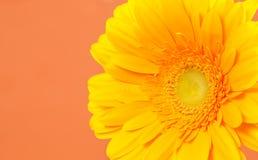 Gerbera on a orange background. Beautiful yellow gerbera on a bright orange background stock photos