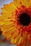 Gerbera orange close up.The freshness of the flower in floristry. Gerbera orange close up. The freshness of the flower in floristry Stock Photos