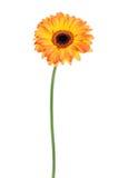 Gerbera orange d'isolement Photographie stock