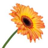 Gerbera orange d'isolement Images stock