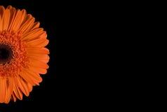 Gerbera orange d'isolement laissé Images stock