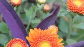 Gerbera orange dans le jardin d'agrément clips vidéos