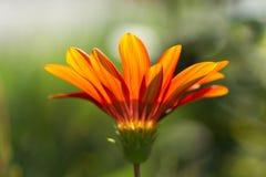 Gerbera orange flower close up on green background. Gerbera orange flower close up on natural green background, horizontal view stock photos