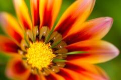 Gerbera orange flower close up on green background. Gerbera orange flower close up on natural green background, horizontal view stock photo