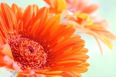 Gerbera. An orange flower named gerbera Royalty Free Stock Photo