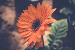 Gerbera orange flower. Transvaal daisy, gerbera orange flower stock photography