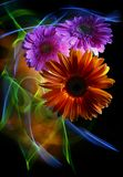 Gerbera orange and gerberas lilac on a multicolored background stock photo