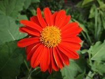 Gerbera Orange Green Background. In the garden royalty free stock photo