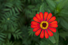 Gerbera orange with green blur. Top view of orange gerbera flowers blooming beautifully blurred background with green leaves royalty free stock photos