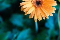 Gerbera orange half. Close-half of Gerbera orange blossom on a green background blur royalty free stock photography