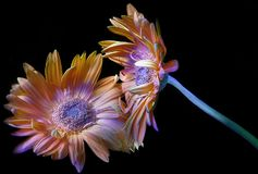 Gerbera orange painted and its reflection stock image