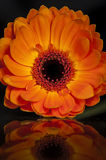 Gerbera Orange Reflection. A picture of an orange Gerbera flower with reflection Royalty Free Stock Photo