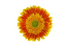 Gerbera orange with yellow flower isolated on white background with clipping path. Close-up royalty free stock images