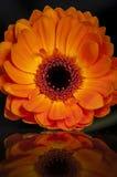 Gerbera-Orangen-Reflexion Lizenzfreies Stockfoto