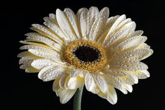Gerbera over black Stock Photos