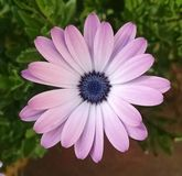 Gerbera púrpura Fotos de archivo