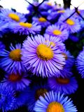 Gerbera púrpura de la flor imagen de archivo