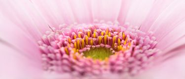 Gerbera, Pano, Flower, Pink, Plant Royalty Free Stock Photography