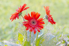 Gerbera. Photo of plant in the garden Royalty Free Stock Image