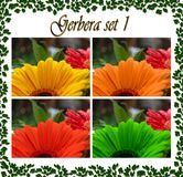 Gerbera photo set with water drops, in 4 colors. stock photo